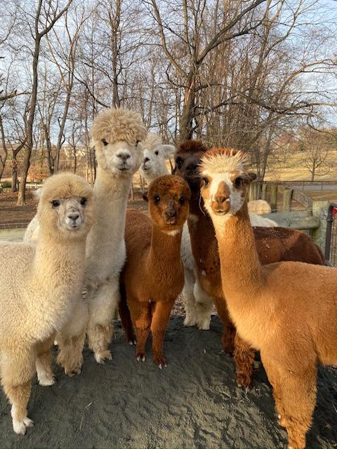 Alpaca 101 – so you want to own alpacas
